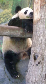 Just hanging out, the giant pandas are a big attraction at the Memphis Zoo