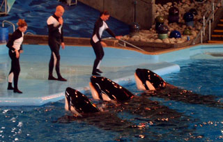 As the largest member of the dolphin family, killer whales are the big crowd pleasers at Sea World
