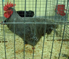 One of the prize winning roosters at the Texas state fair