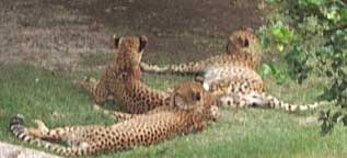 A glimpse of cheetas lounging after a meal